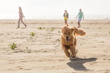 Golden Retriever Dog running at the beach