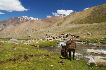 Donkey's lunch time in Ladakh
