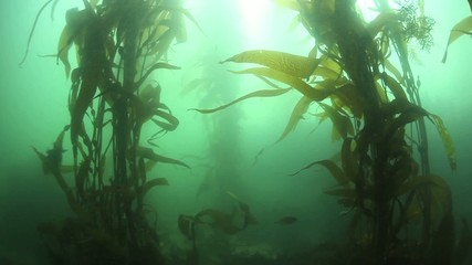 Wall Mural - Pacific Kelp Forest Swaying