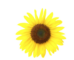 Sunflower Isolated and Clipping Path