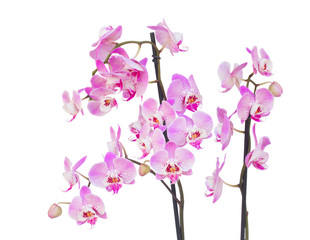 fresh pink  orchid branch