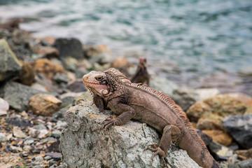 Brown Iguana Sunning on Rock