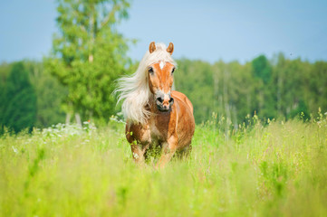 Wall Mural - Beautiful horse with long mane running on the summer field