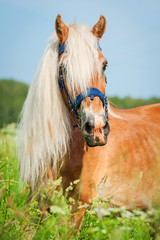 Fototapete - Portrait of beautiful horse with long mane