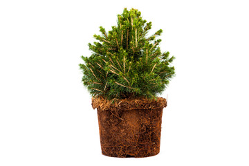 spruce without pot with roots