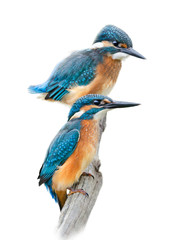 Kingfishers on Wnite Background
