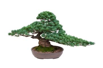 japanese white pine bonsai tree isolated