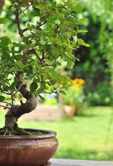 bonsaï en pot dans jardin