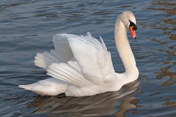 Foto op Canvas Zwaan Swan