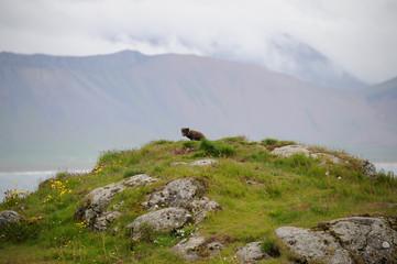 renard islandais