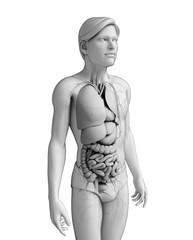 Digestive system of male anatomy