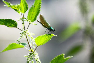 dragonfly on mint