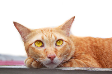 Thai Cat laying on roof portrait.