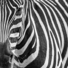 animal zebre portrait