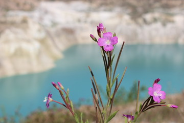Pink wild flower in the mountains on lake background