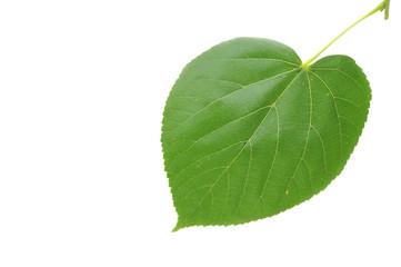 Linden leaf on white background