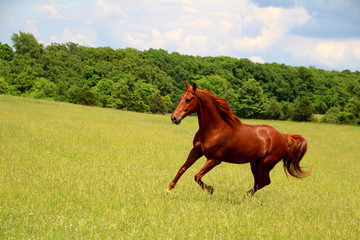 Sorrel Horse Running in Summer Pastures