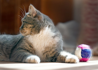 gray fluffy cat playing with a toy
