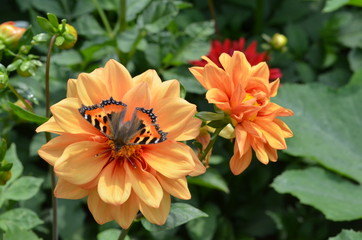 Dahlienblüte mit Schmetterling