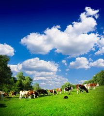 Fototapete - Cows grazing on pasture
