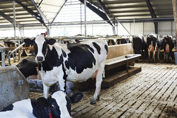 Cattle in barn on dairy farm
