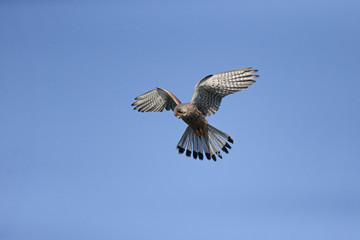 Fotoväggar - Kestrel, Falco tinnunculus