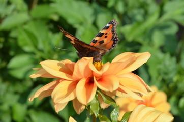 orangene Dahlienblüte mit Schmetterling