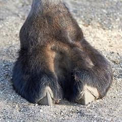 Camels foot