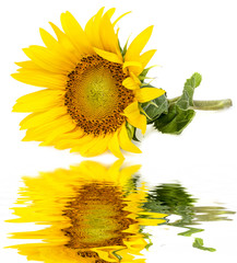 a sunflower on a white background