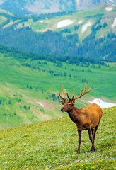 Wall Mural - Elk on the Mountain Meadow