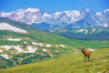 Wall Mural - Lonely Elk Alpine Meadow