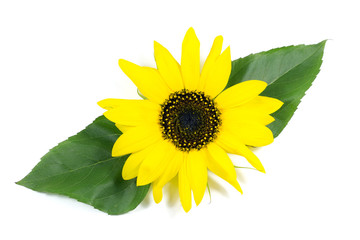 Beautiful Sunflower with Green Leaves Isolated on White