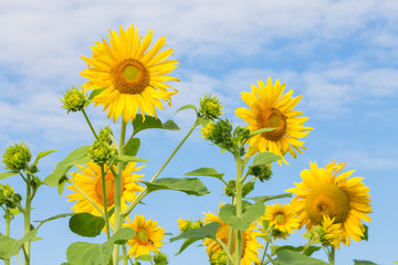 yellow sunflower on blue cloudy sky background