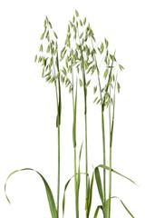 Fresh oat plant