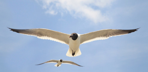 Seagull Closeup