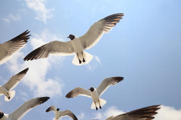 Seagull Majesty