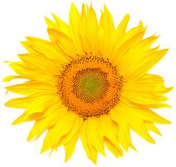 Wall Mural - Sunflower