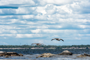wild ducks flying over the sea