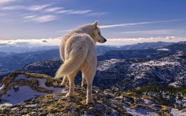 Foto auf Leinwand Wolf Волк