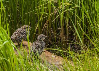 Rock Ptarmigan Chicks
