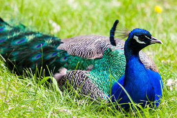 Closeup on a Peacock Resting