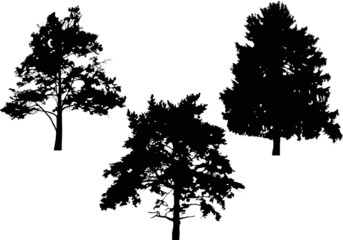 fir and two pines silhouettes isolated on white