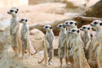 Meerkat on the rock