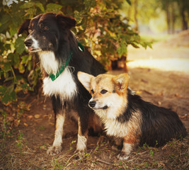 two cute dogs in the park. We're friends forever. Welsh Corgi an
