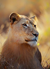 Lioness portrait lying in grass