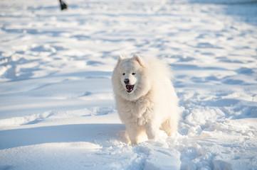 one samoed dog white