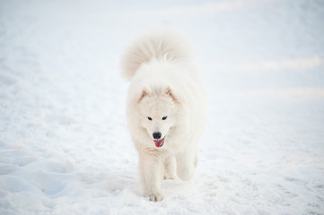 one samoed dog white