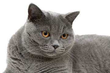 portrait of a gray Scottish cat on a white background