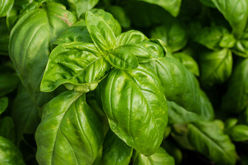 Basil plant with green leaves