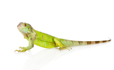 green iguana in profile. isolated on white background